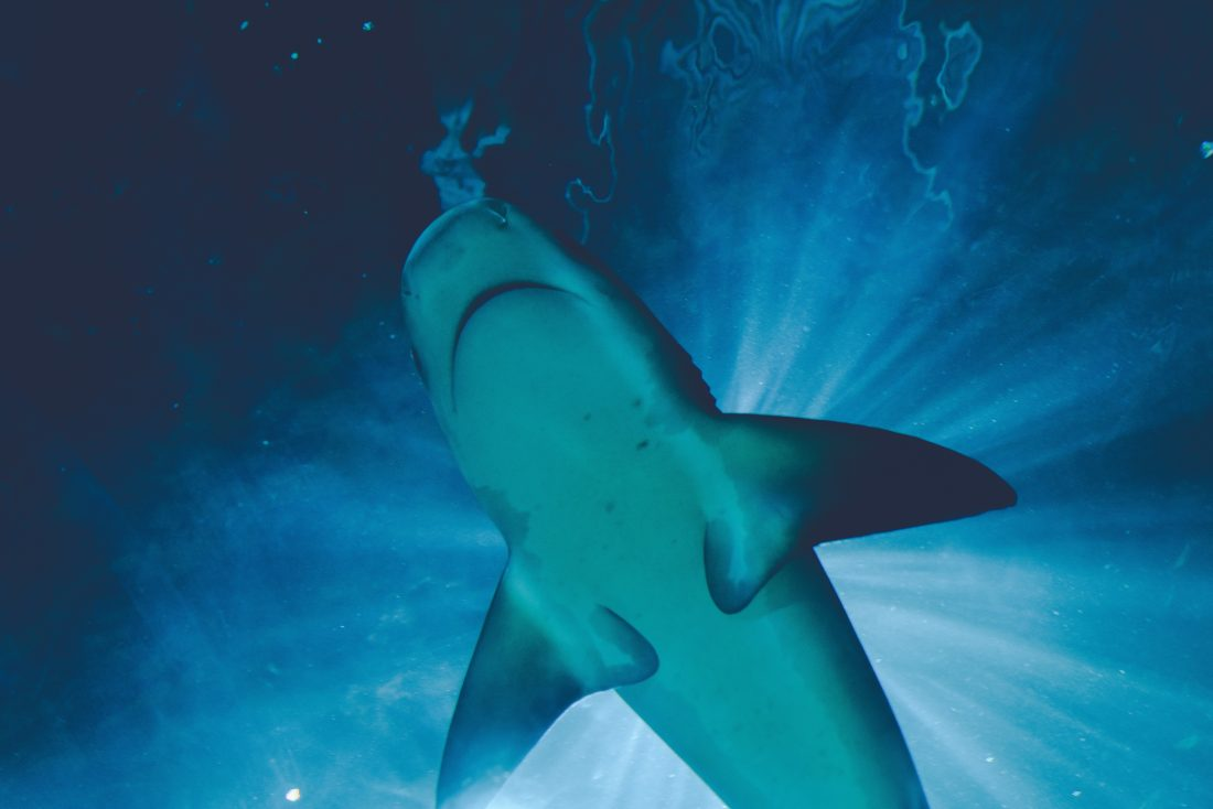 how many sharks die from plastic each year